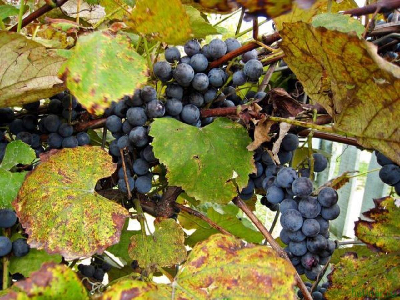 Рецепт вина из винограда изабелла в домашних условиях пошагово