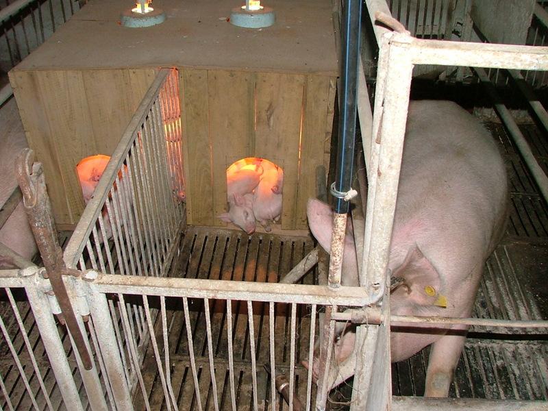 Клетки для свиней своими руками фото