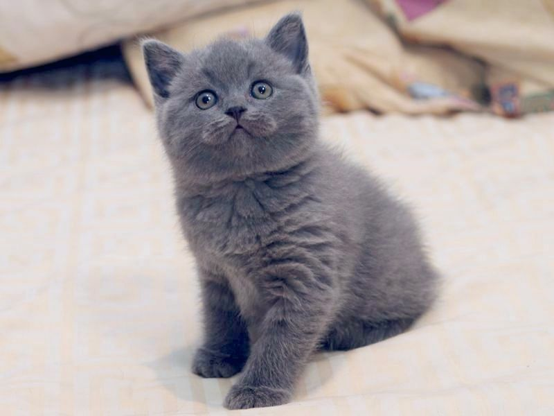 Британские котята: Фото, Цена или Сколько стоит британский ...