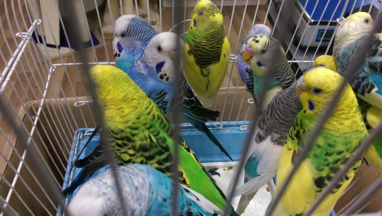 режим картинка продаю попугая аниканова настоящем