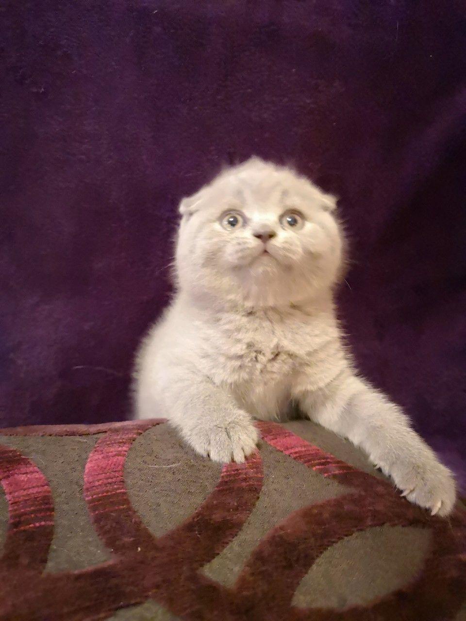 нашел популярности картинки реальные вислоухие коты встроенная для