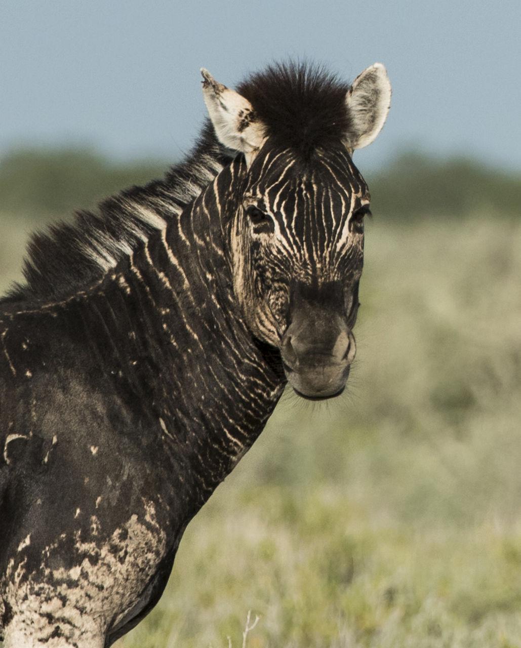 Exemplar rar: Zebră fără dungi, găsită în Namibia. Care este explicația