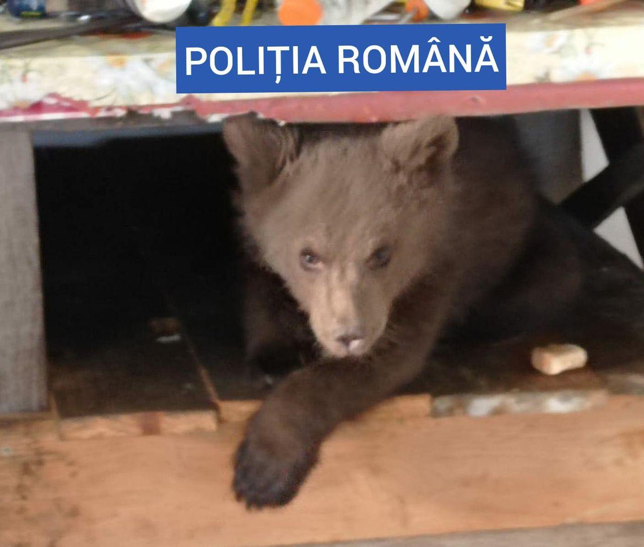 Un pui de urs, ținut captiv de un bărbat: Avea și 40 de kg de carne de urs
