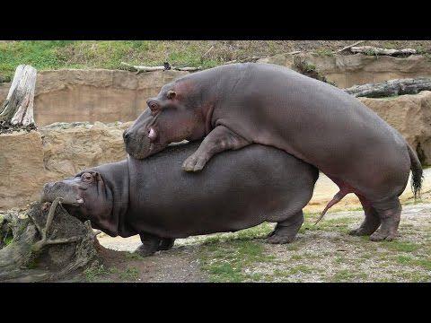 порно фото бегемота