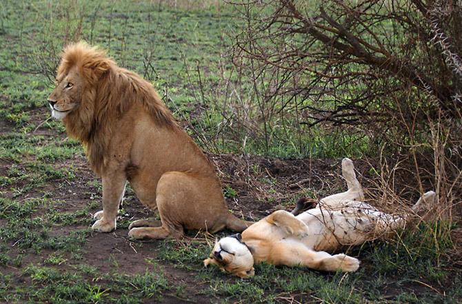 Лев занимаются секс