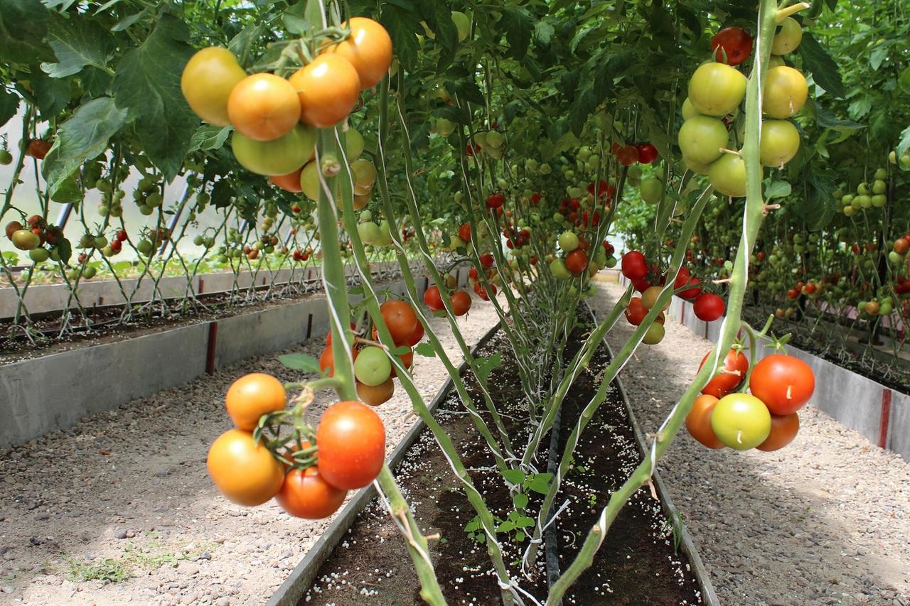 Рассада помидор в домашних условиях: когда сажать, как 77