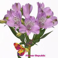 купить Альстромерия светло-фиолетовая Поштучно в Кишинёве