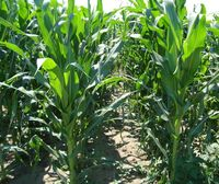 Гармониум - Семена кукурузы - Евралис Семанс