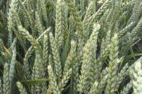 Ребелл - Семена озимой Пшеницы - RAGT Semences