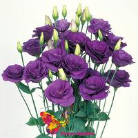 купить Эустома фиолетовая Поштучно в Кишинёве