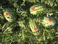 Tamtam F1 - Seminţe hibrid de pepene verde - Enza Zaden