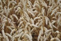 Балетка - Семена озимой Пшеницы - RAGT Semences