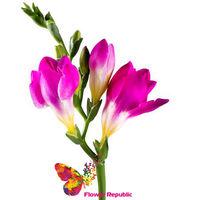 купить Фрезия розовая поштучно в Кишинёве