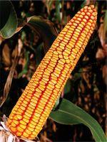 DALMAC - Семена кукурузы - Земун Поле