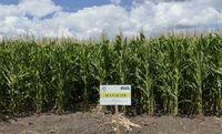 Манакор - Семена кукурузы - Семилас Фито