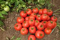 Бехрам F1 - семена гибрида томата - Энза Заден