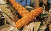 Конкорд - Семена кукурузы - Евралис Семанс