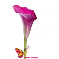 купить Калл Розовая поштучно в Кишинёве