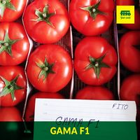 Гамма F1 - семена гибрида томата - Семилас Фито