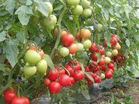 Veggo F1 - Seminţe hibrid de tomat - Enza Zaden