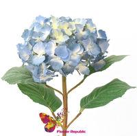 купить Гортензия голубая в Кишинёве