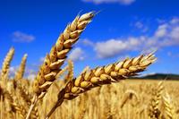 Реформ - Семена озимой Пшеницы - RAGT Semences