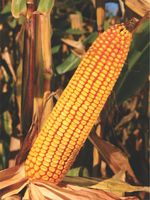 ZP 341 - Семена кукурузы - Земун Поле