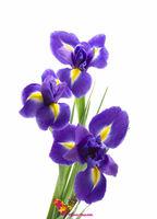 cumpără Iris albastru pret/buc în Chișinău