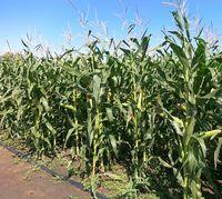 Сенсор - Семена кукурузы - Евралис Семанс