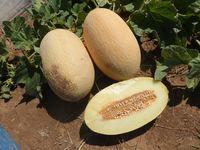 Dakaro F1 - Seminţe hibrid de pepene galben - Enza Zaden