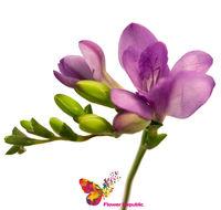 купить Фрезия фиолетовая поштучно в Кишинёве