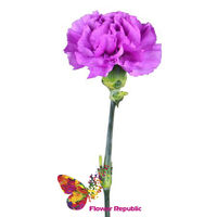 купить Фиолетовые гвоздики поштучно в Кишинёве