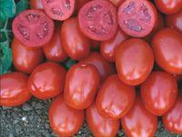 Хайнц 1015 F1 - семена гибрида томата - Хайнц Сидс