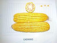 Кадиксио - Семена кукурузы - RAGT Semences
