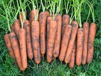 Наталья - семена моркови - Денфилдт