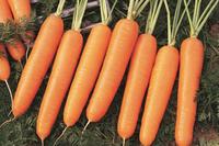 Marquette - Seminţe de morcov - SEMO