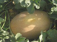 Bisan F1 - Seminţe hibrid de pepene galben - Enza Zaden
