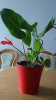 Антуриум spathiphyllum anturium.