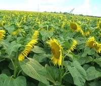 Вуллкано ВО - Семена подсолнечника - RAGT Semences