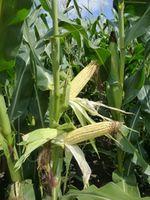 Эксклам - Семена кукурузы - RAGT Semences
