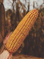 ZP 333 - Семена кукурузы - Земун Поле