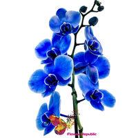 купить Орхидея синяя в Кишинёве