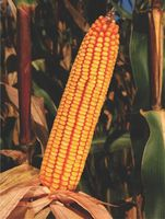 ZPSC 388 - Семена кукурузы - Земун Поле