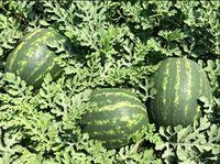 Maristo F1 - Seminţe hibrid de pepene verde - Enza Zaden