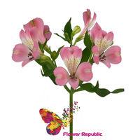 купить Альстромерия розовая Поштучно в Кишинёве