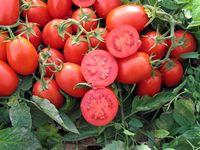 Хайнц 3402 F1 - семена гибрида томата - Хайнц Сидс
