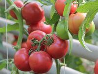 Pinkshine F1 - Seminţe hibrid de tomat - Enza Zaden