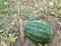 HSR 4677 F1 - семена гибрида арбуза - Холлар Сидс