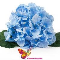 купить Гортензия синяя ( голова) в Кишинёве