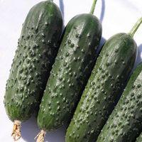Spino F1 (100 seminţe)